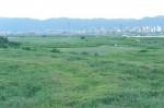 宇治川の葦原