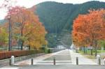 日吉ダム東詰の並木は色づきはじめ